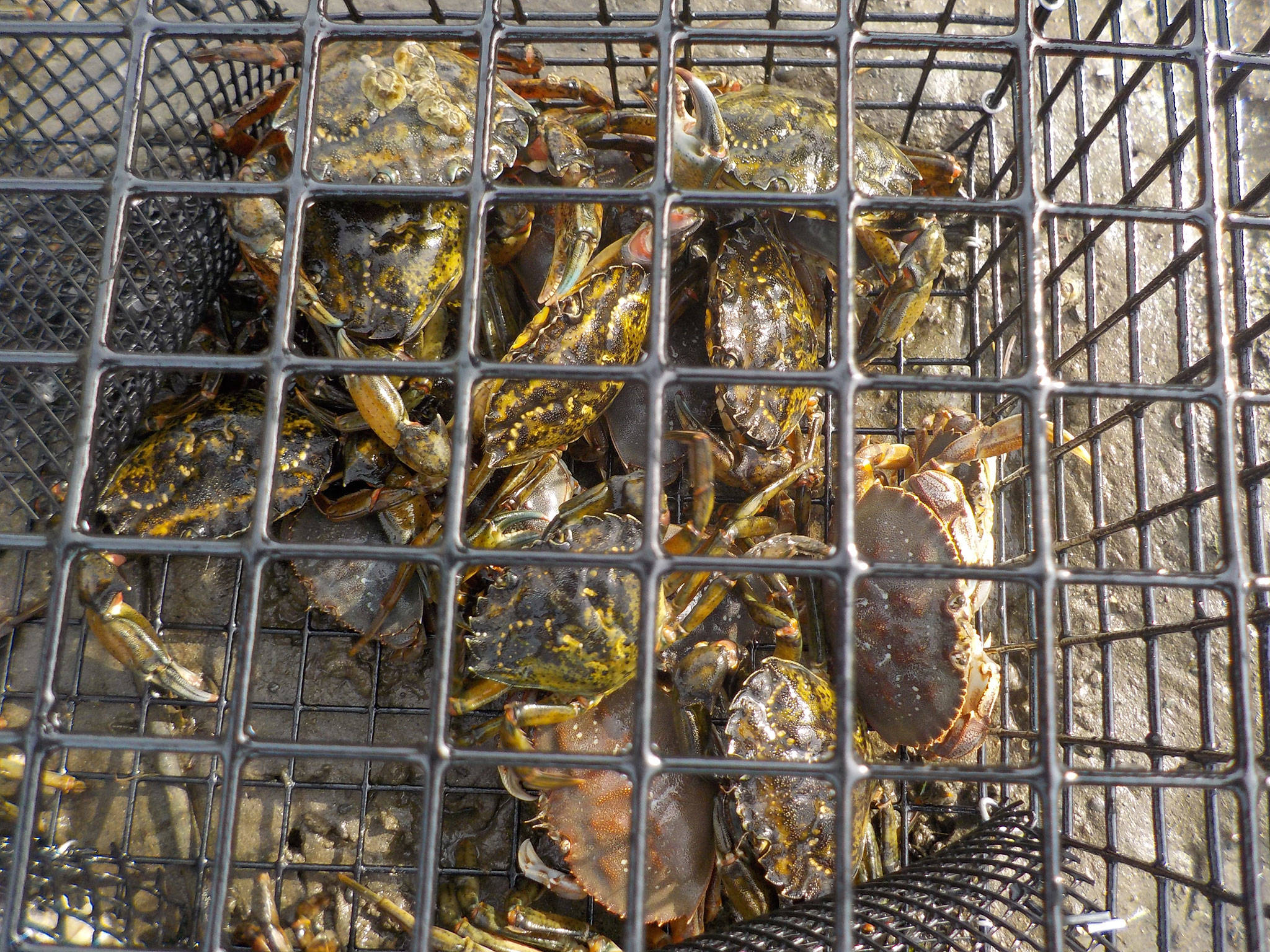 Left, last year, the Makah Tribe captured its highest total of European green crab but Adrianne Akmajian, a marine ecologist for the Makah Fisheries Management, said they might not begin trapping until May due to concerns for the spread of the coronavirus. Photo courtesy of Adrianne Akmajian